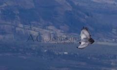 Flying-Hawk