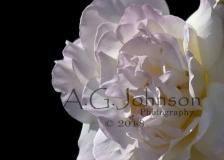 Profile-Rose