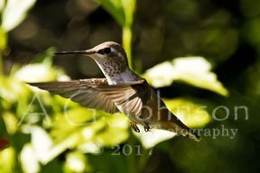 hummingbird photos, back yard hummingbirds.