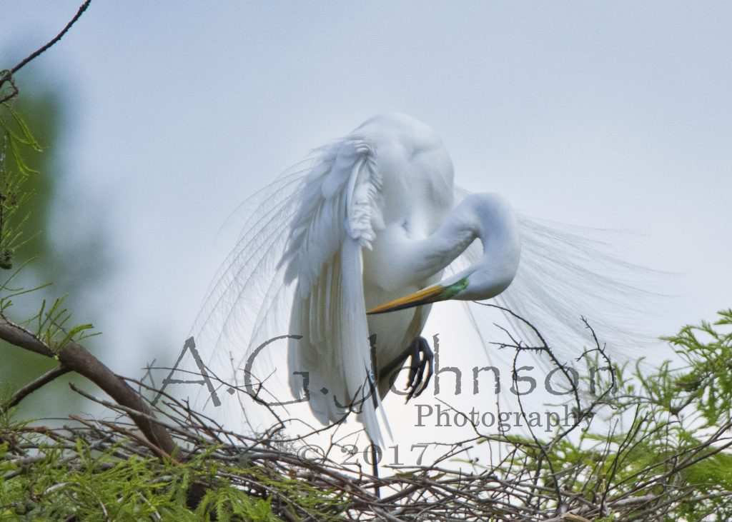 Great Egret,  South Carolina birds, Magnolia Plantation